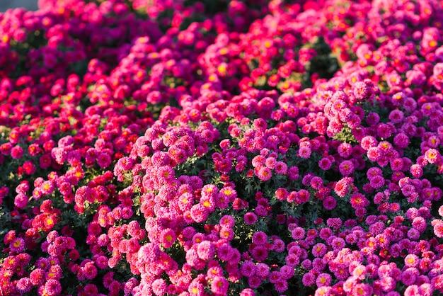 Veel kleine bloemen paarse of roze chrysanten in de herfst tuin. bloem achtergrond Premium Foto