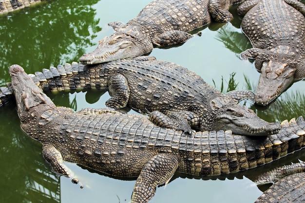 Veel krokodillen Premium Foto
