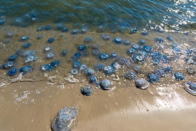 Veel kwallen levend en dood aan de kust van de zwarte zee Premium Foto