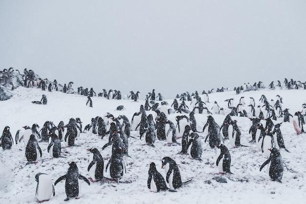 Veel pinguïns op een besneeuwde top tussen sneeuwstorm Gratis Foto