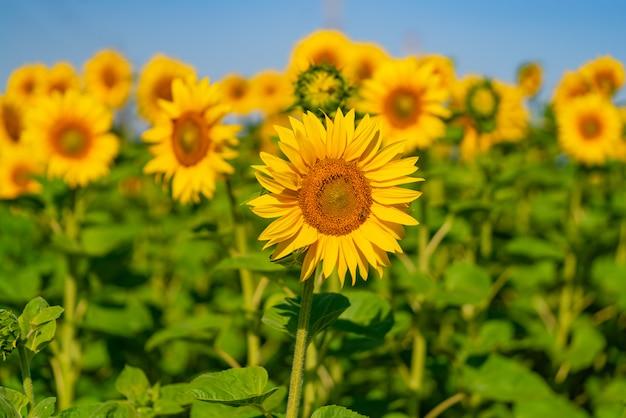 Veel zonnebloemen bloeien in het veld bij warm weer. Premium Foto