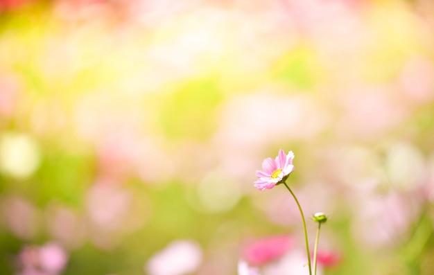 Veld kosmos bloem / kleurrijk van kosmos plant bloeiende lente bloementuin Premium Foto