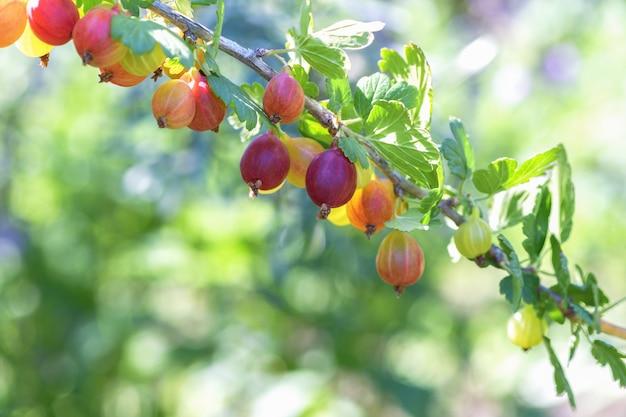 Vele bessen rijpe rode kruisbessen op een tak in de tuin. Premium Foto