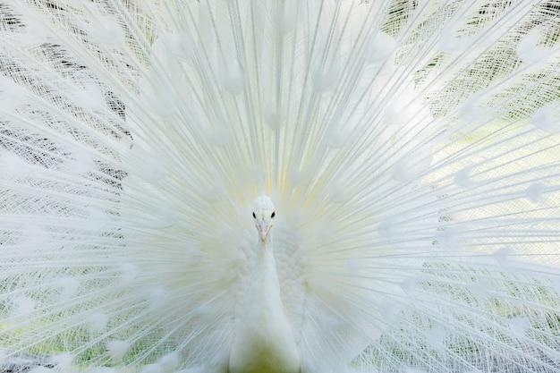 Verbazingwekkende witte pauw die zijn staart opent Premium Foto