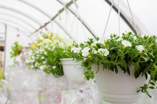 Verkoop van veelkleurige petunia's die in de kas worden geteeld. detailopname Premium Foto