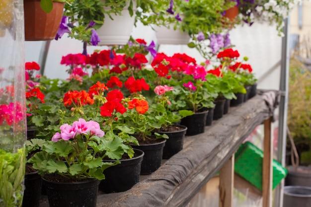 Verkoop van veelkleurige petunia's die in de kas worden geteeld. Premium Foto
