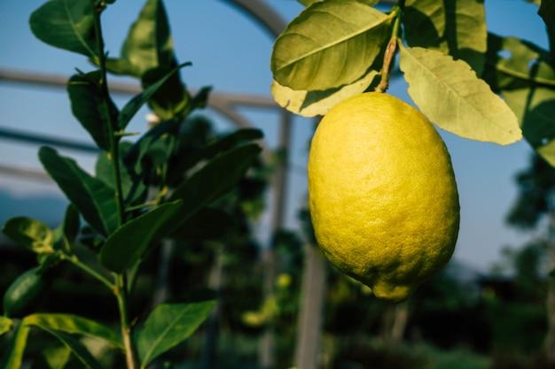 Vers citroenfruit in de tuin Premium Foto