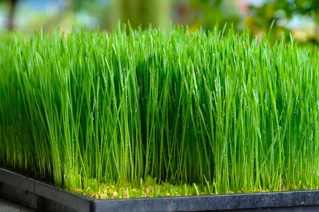 Vers groen tarwegras met dalingendauw Premium Foto