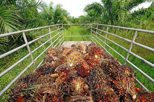 Vers palmoliefruit van vrachtwagen. Premium Foto
