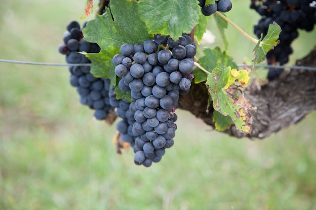 Vers van rode druif op boomtak Premium Foto