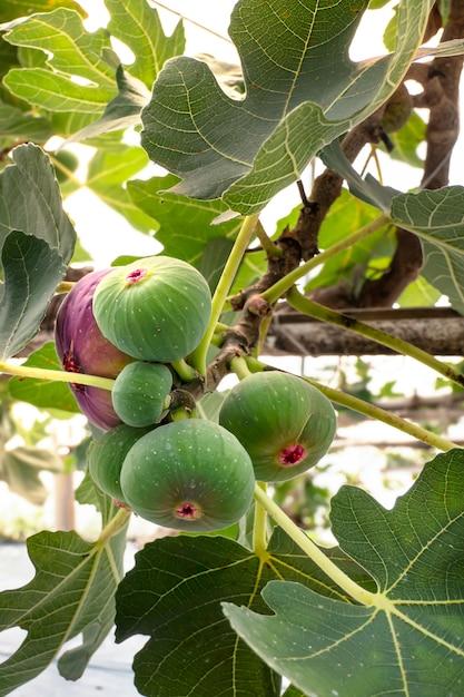 Vers vijgenfruit Premium Foto