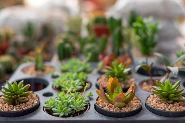 Verscheidenheid van cactus in de kleine pot vetplanten. ingemaakte kleine kamerplanten Premium Foto