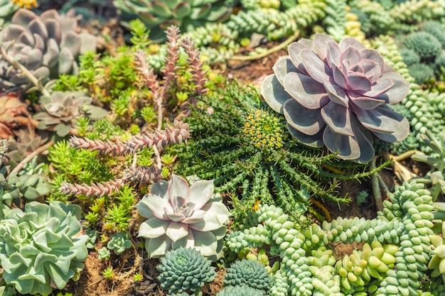 Verscheidenheid van succulente installaties van de cactussenagave bij de tuin, close-up. Premium Foto