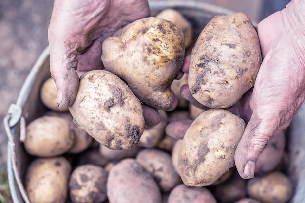 Verse aardappelen in handen van de oude oudere boer boven de emmer. Premium Foto