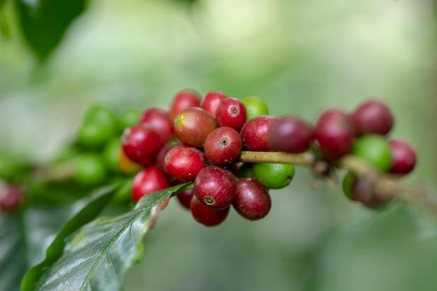 Verse arabica-koffiebonen die op boom in het noorden van thailand rijpen Premium Foto