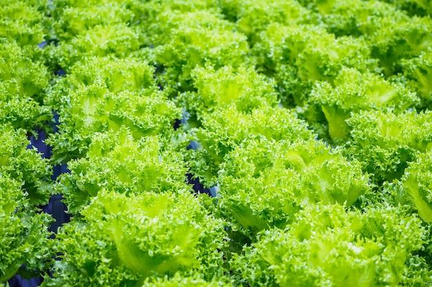 Verse biologische groene bladeren sla salade plant in hydrocultuur groenten boerderij systeem Premium Foto