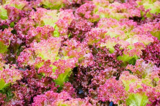 Verse biologische lollo rossa rode bladeren sla salade plant in hydrocultuur groenten boerderij systeem Premium Foto