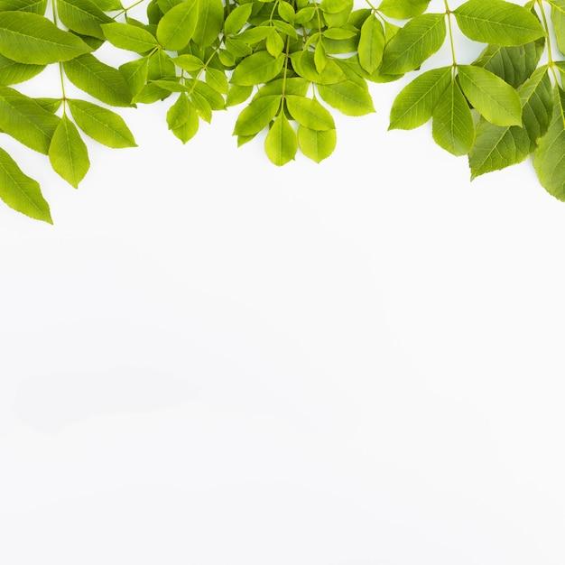Verse groene bladeren die op witte achtergrond worden geïsoleerd Premium Foto