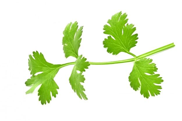 Verse groene bladeren van koriander die op witte oppervlakte wordt geïsoleerd Premium Foto