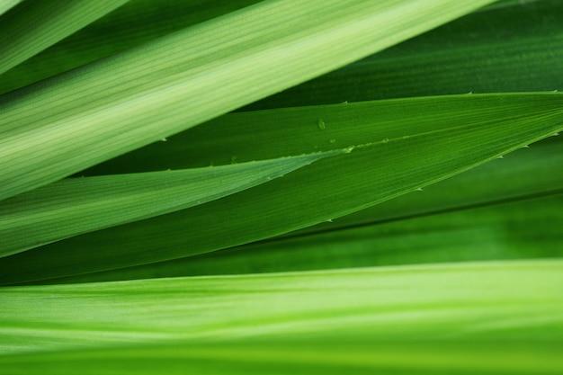 Verse groene de textuurachtergrond van het bladeren tropische pandan blad. Premium Foto
