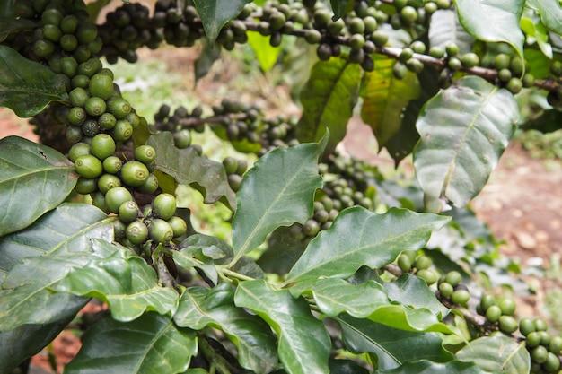 Verse koffiebonen of koffiebonen op boom in landbouwbedrijf op boom bij het nationale park van doi inthanon in chiang mai, provincie azië thailand Premium Foto