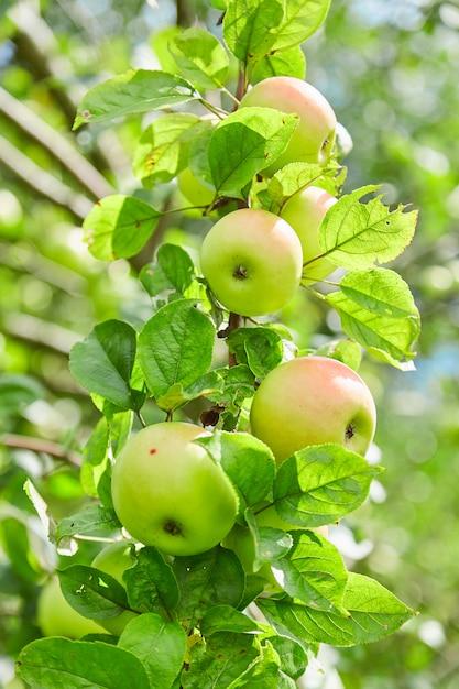 Verse, natuurlijke, biologische, sappige appels. appels op een tak op een boom. appelboomgaard. milieuvriendelijk product Premium Foto