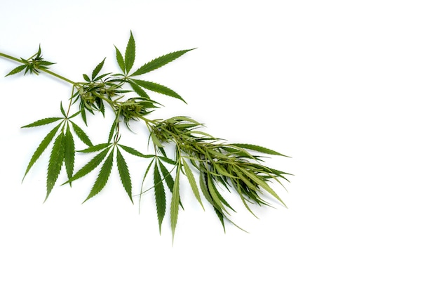 Vertak cannabis met vijf vingers Premium Foto