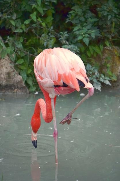 Verticaal schot van een flamingo die voedsel op het water zoekt Gratis Foto