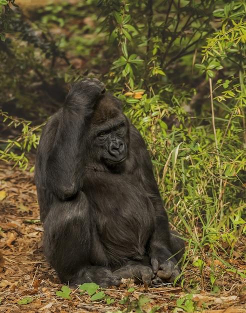 Verticaal schot van een gorilla die zijn hoofd krast terwijl het zitten met een vaag bos op de achtergrond Gratis Foto