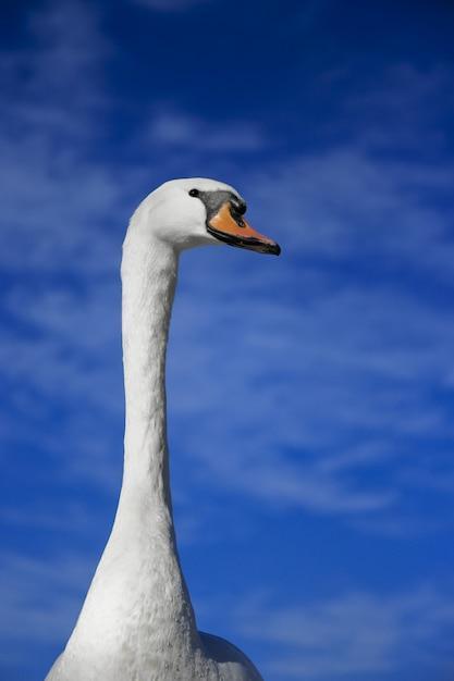 Verticaal schot van een leuke zwaan met een vage blauwe hemel Gratis Foto