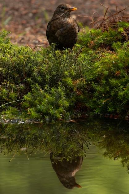 Verticaal schot van een merel die over het meer nadenkt Gratis Foto