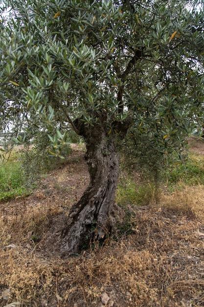 Verticaal schot van een oude russische olijfboom met groene bladeren in een grasrijk gebied Gratis Foto