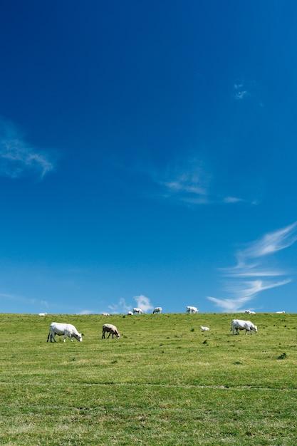 Verticaal schot van koeien in een grasrijk gebied met een blauwe hemel overdag in frankrijk Gratis Foto