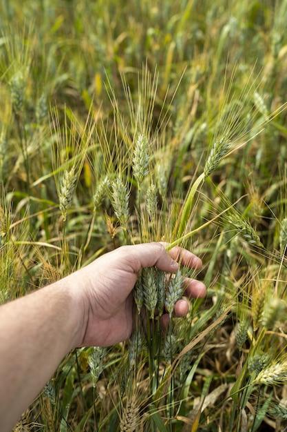 Verticaal shot van een persoon met tarwe in een veld onder het zonlicht in cadiz, spanje Gratis Foto