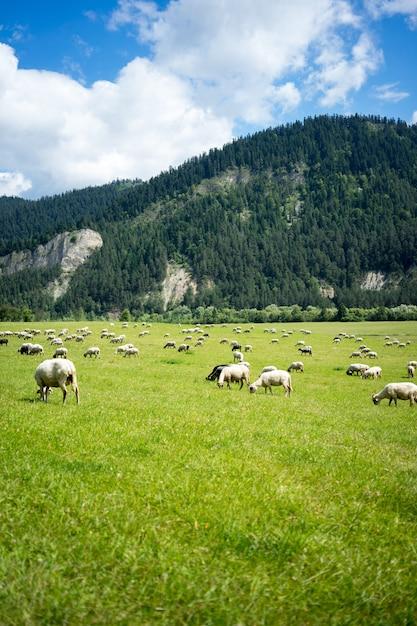 Verticaal van een kudde schapen die gras eten bij het weiland dat door hoge bergen wordt omringd Gratis Foto