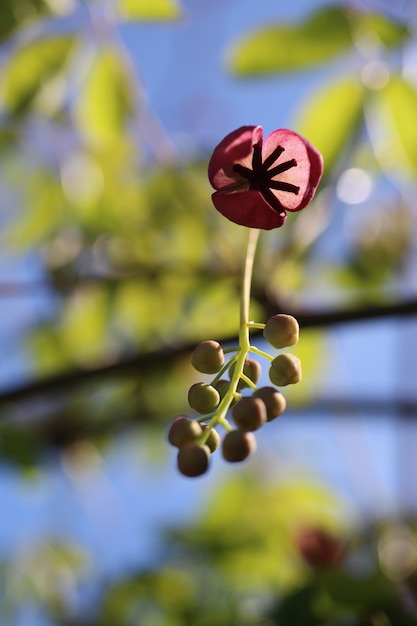 Verticale close-up shot van een akebia-bloem met een onscherpe achtergrond Gratis Foto