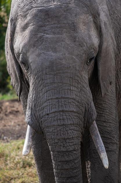 Verticale close-up shot van een prachtige olifant in de natuur gevangen in ol pejeta, kenia Gratis Foto