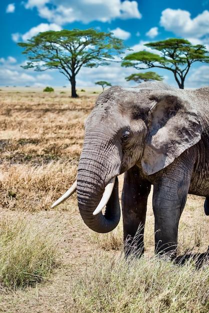 Verticale close-up shot van een schattige olifant lopen op het droge gras in de wildernis Gratis Foto