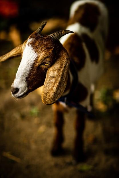 Verticale close-up shot van het hoofd van een schattige geit Gratis Foto