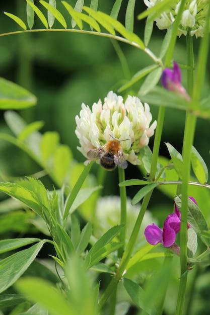 Verticale opname van een bijen zittend op een witte nederlandse klaver Gratis Foto