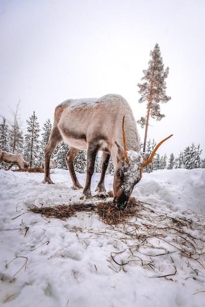 Verticale opname van een hert in het besneeuwde bos in de winter Gratis Foto