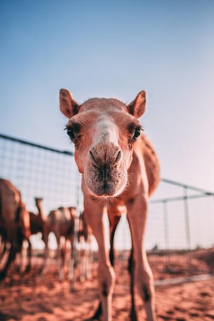 Verticale opname van een nieuwsgierige kameel in een kooi in de woestijn Gratis Foto