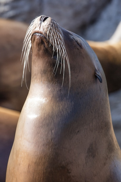 Verticale opname van een zeeleeuw op de kust in het zonlicht met een onscherpe achtergrond Gratis Foto