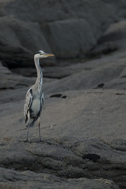 Verticale selectieve focus shot van grijze reiger op een rots Gratis Foto