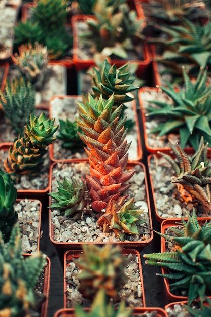 Vetplanten, echeveria kalanchoe succulente kamerplanten. Premium Foto