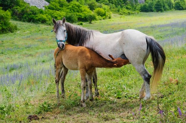 Veulen en zijn moeder paard, borstvoeding Premium Foto