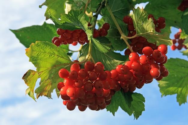 Viburnum-struik met rode bessenbossen op hemel Premium Foto