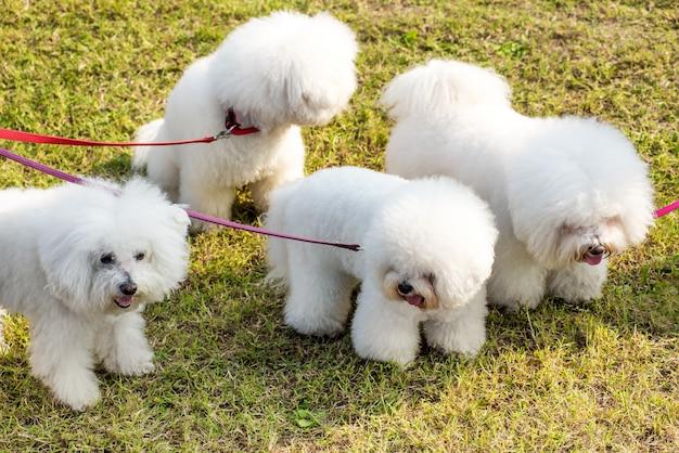 Vier witte honden bichon frise Premium Foto