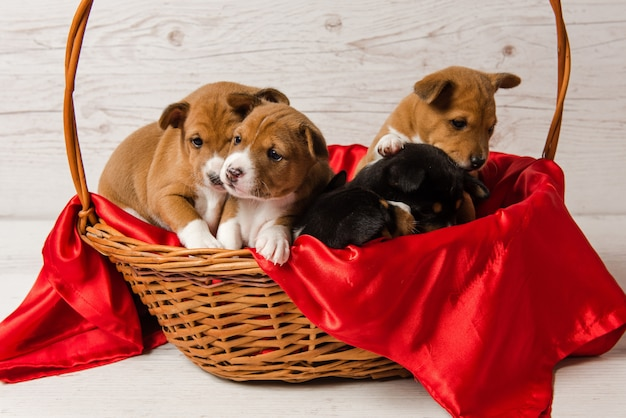 Vijf basenji-puppy's in mand met rode stof Premium Foto