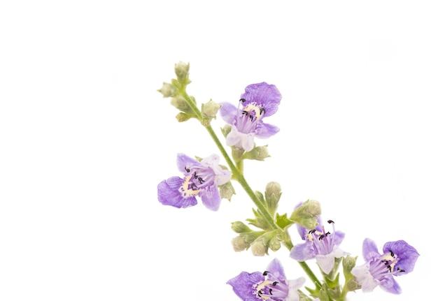 Vijfbladige kuisboom of vitex negundo-bloemen die op wit worden geïsoleerd. Premium Foto